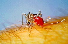 aedes_4